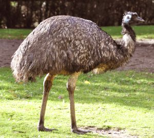 Read more about the article एमू (Emu)