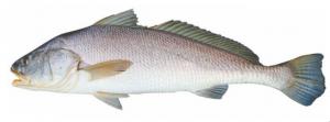 घोळ मासा (Croaker fish)
