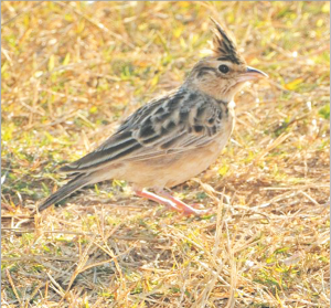 चंडोल (Indian bushlark)