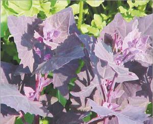 चंदनबटवा (Garden Orache)