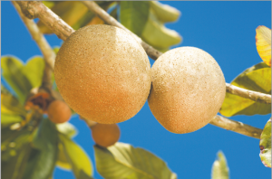 Read more about the article चिकू (Sapodilla)