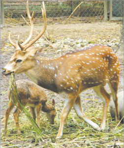 चितळ (Spotted deer)