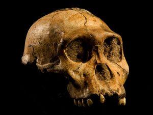 ऑस्ट्रॅलोपिथेकस सेडिबा (Australopithecus sediba)