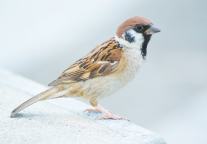 Read more about the article चिमणी (Sparrow)