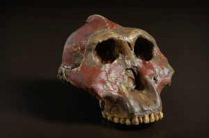 पॅरान्थ्रोपस (Paranthropus)