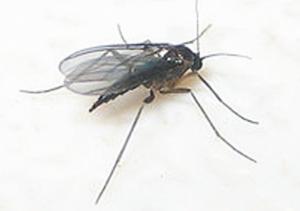 चिलट (Grassfly)
