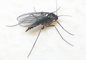 Read more about the article चिलट (Grassfly)