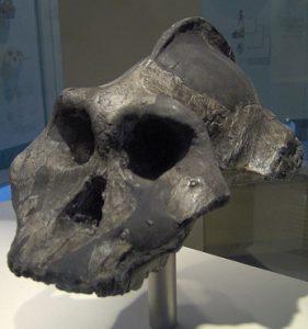 पॅरान्थ्रोपस इथिओपिकस (Paranthropus aethiopicus)