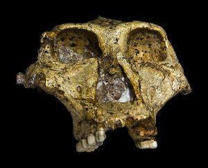 पॅरान्थ्रोपसरोबस्टस (Paranthropus Robustus)