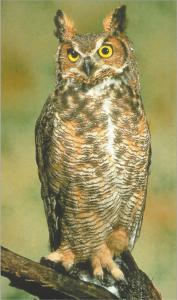 घुबड (Owl)