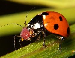 जैविक कीड नियंत्रण (Biological pest control)