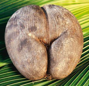 जहरी नारळ (Coco de mer)