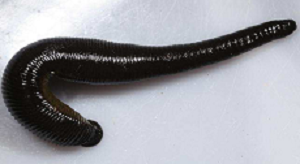 Read more about the article जळू(Leech)