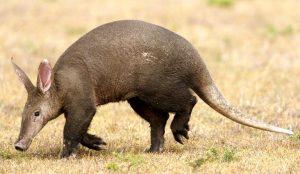 आर्डव्हॉर्क (Aardvark)