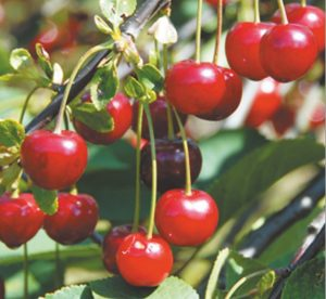 Read more about the article चेरी (Cherry)