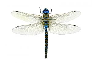 चतुर (Dragon Fly)