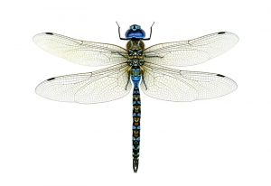 Read more about the article चतुर (Dragon Fly)
