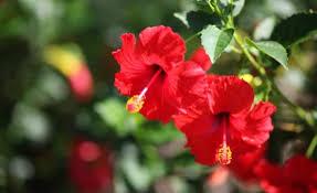 जास्वंद (Shoe-flower)