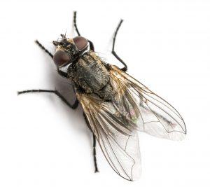 घरमाशी (Housefly)