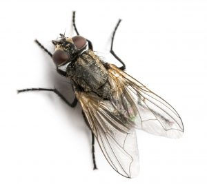 Read more about the article घरमाशी (Housefly)
