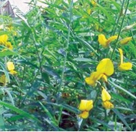 अंबाडी (Deccan hemp)