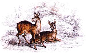 कस्तुरी मृग (Musk deer)