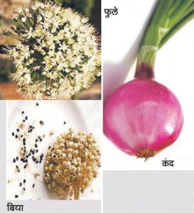 कांदा (Onion)