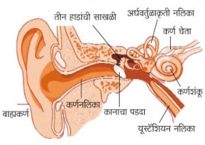 Read more about the article कान (Ear)