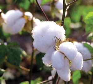 कापूस (Cotton)