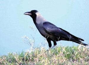 कावळा (Crow)
