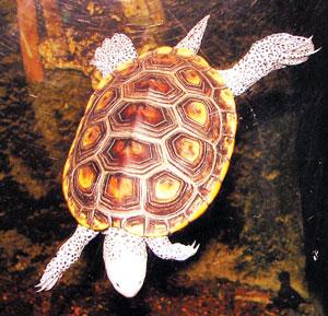 कासव (Tortoise)