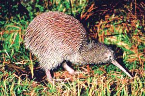 किवी (Kiwi)