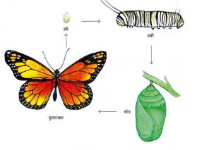 कीटकाचे जीवनचक्र (Life-cycle of insect)
