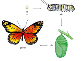 Read more about the article कीटकाचे जीवनचक्र (Life-cycle of insect)