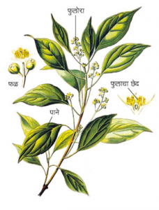 Read more about the article कुचला (Nux-vomica)