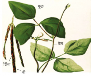 Read more about the article कुळीथ (Horse gram)