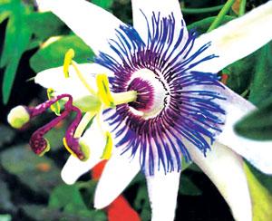 कृष्णकमळ (Passion flower)