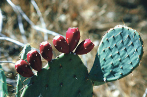 कॅक्टेसी (Cactaceae)