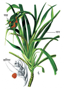 Read more about the article केवडा (Screw pine)