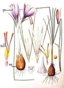केशर (Saffron)