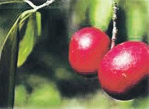 कोकम (Kokam butter tree)