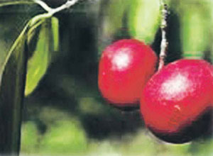 Read more about the article कोकम (Kokam butter tree)