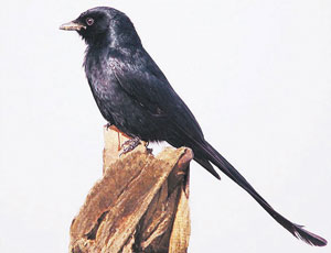 Read more about the article कोतवाल (Drongo)