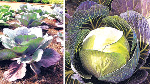 कोबी (Cabbage)