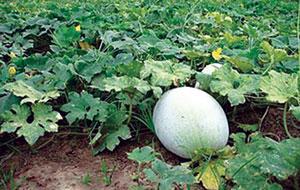 कोहळा (Ash gourd)