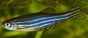 झीब्रा मासा (Zebra fish)
