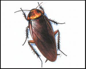 झुरळ (Cockroach)