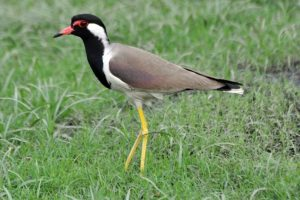 Read more about the article टिटवी (Lapwing)