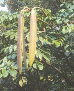 टेटू (Indian trumpet tree)