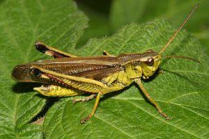 टोळ (Locust)